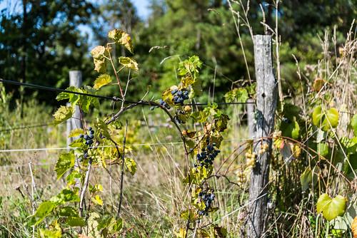 02-Vignes abandonnées