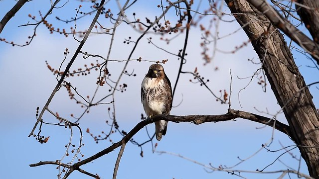 Hawk Hunting for Vole - video