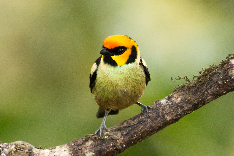 IMG_6774  Flame-faced Tanager