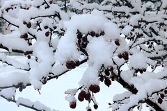 Snow Covering Crabapple Tree Branches 008