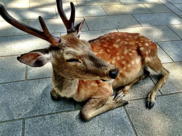 nara deer.