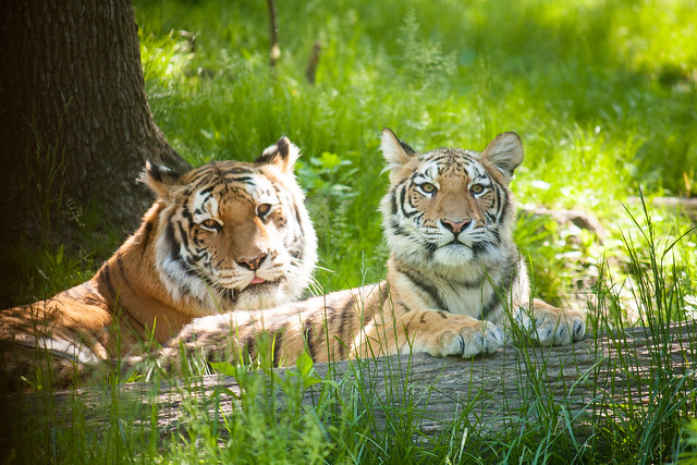 Tiger, Bronx Zoo