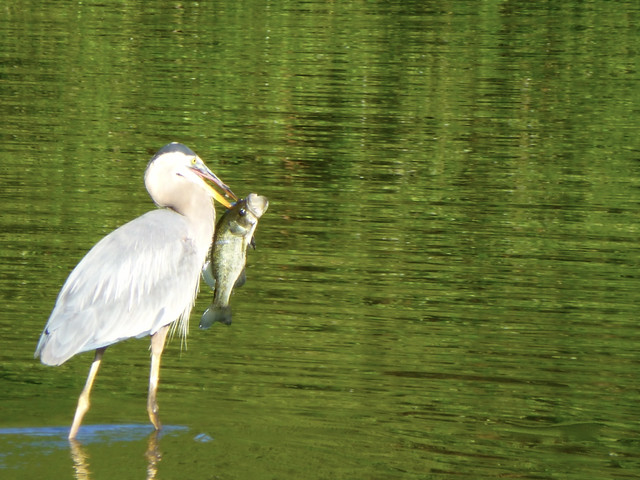 heron goes fishing