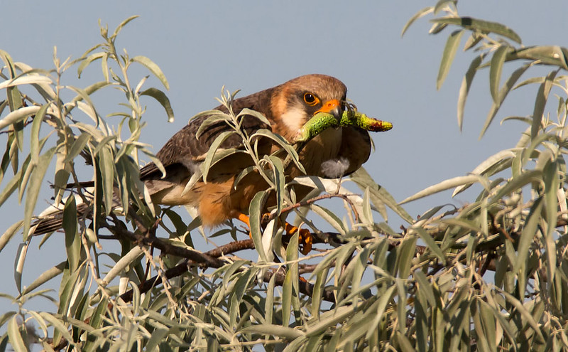 Red-footed Falcon - Green Lizard, a common food for them.