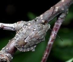 Genus Brochymena - Rough Stink Bug