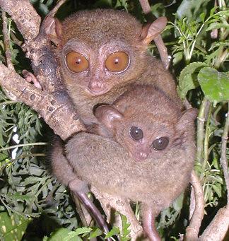 primata terkecil indonesia