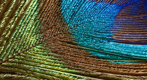 life blue ireland brown detail macro green bird eye nature feather peacock iridescent interference limerick plumage annacotty structuralcolour peacockfeathercloseup