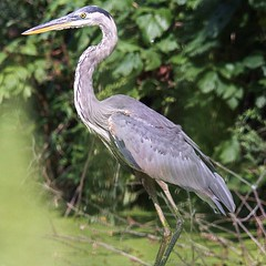 Great Blue Heron. Photo taken at Vassar Farm.  #birds #instabirds #most_deserving #birdsofinstagram #natureonly #ilovebirds #best_birds_of_instagram #igbirdfreaks #birdphotos #birdphotographs #nature #naturephotos #ilensdaily #wildlife #wildlifephotograph