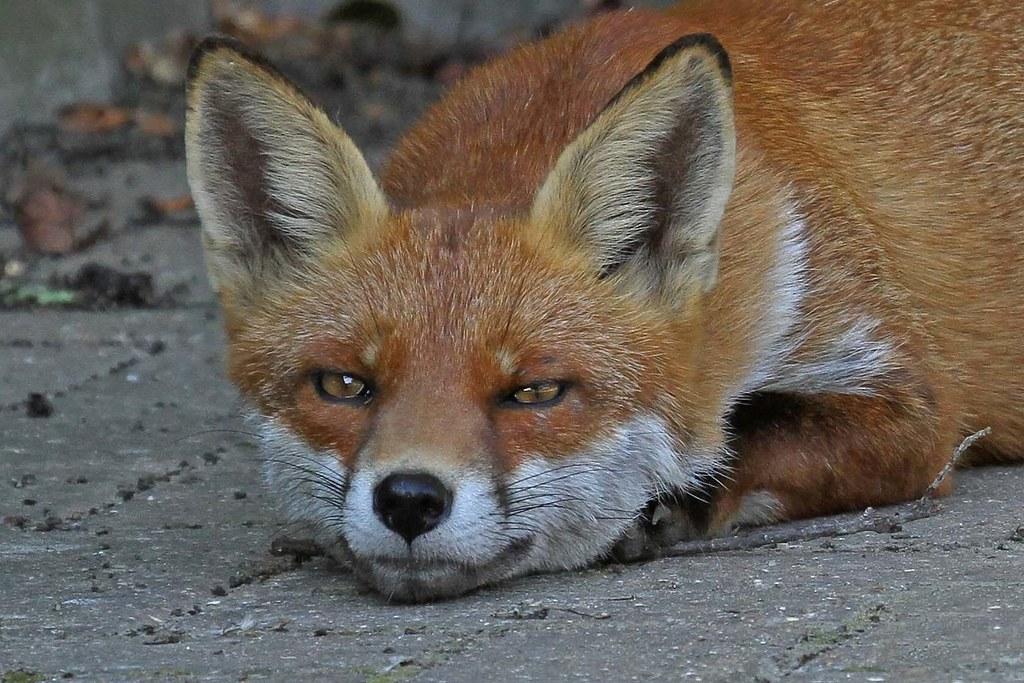 Fox heads 5.9.2013 (1)