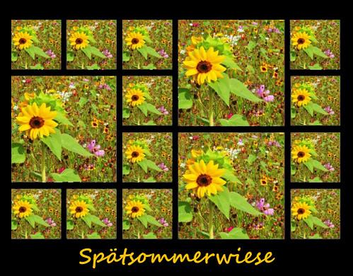 Wiese Wiesen Blume Blumen Blumenwiese Sommer Spätsommer Sommerwiese Spätsommerwiese Collage