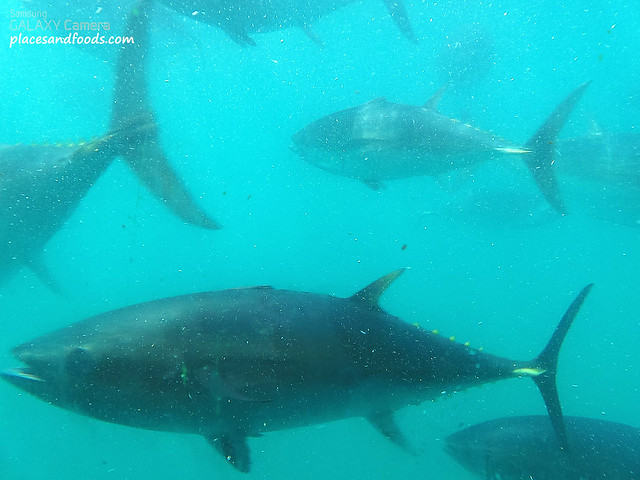 swim with blue fin tuna