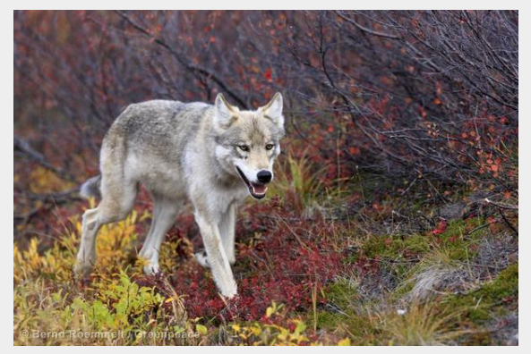 Gray Wolf, Photo Credit: Greenpeace