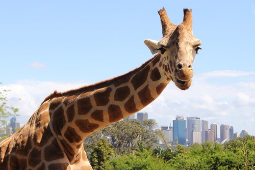 Giraffe, Taronga Park Zoo, Sydney