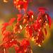Red Leaves in the Sunshine by RandallTT