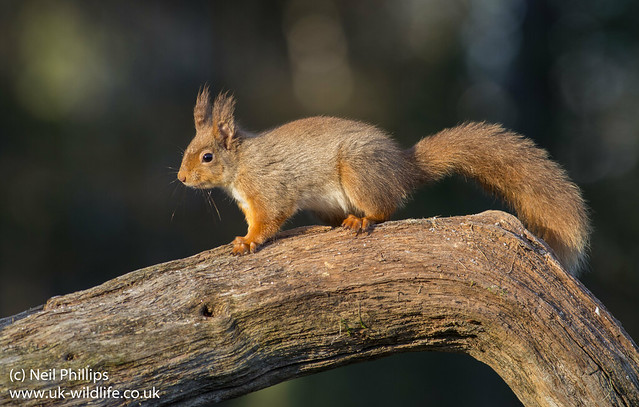 red squirrel-7