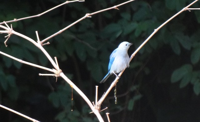Blue-gray Tanager, Tobago