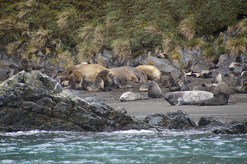 259 Zeeolifanten en zeeberen