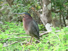 pelecaniformes(0.0), animal(1.0), nature(1.0), fauna(1.0), green heron(1.0), beak(1.0), bird(1.0), wildlife(1.0),