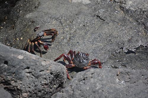 'a'ama crab conflict