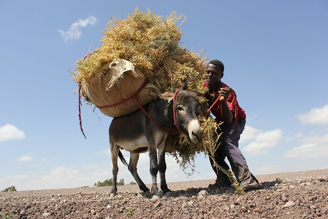A man loads a large bundle of harvested chickpea plants onto a donkey.