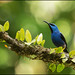 Shining Honeycreeper (Cyanerpes lucidus) perched on a branch by Chris Jimenez Nature Photo