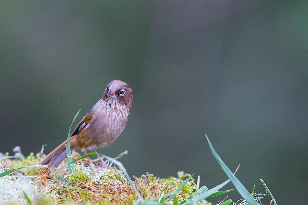 褐頭花翼-1393