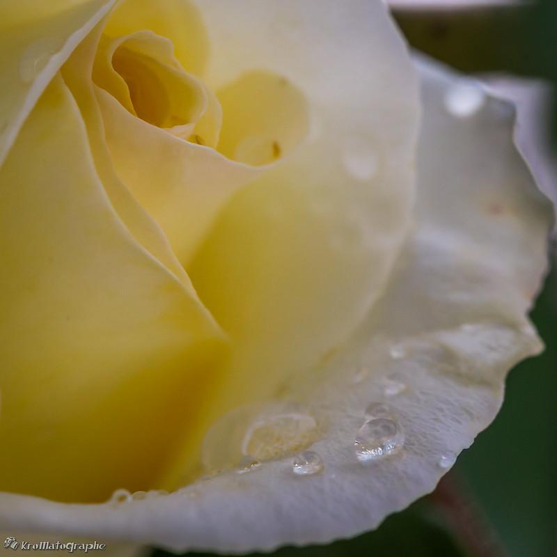 Rose sous la pluie ;) 14259906634_56b2547810_c