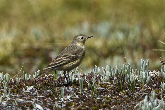 American Pipit - Olympic NP - Washington_S4E2905