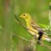 Chardonneret jaune femelle grignotant des grains de vulpin des prés | Parc Michel-Chartrand | Longueuil