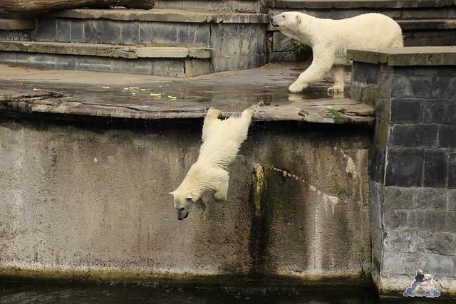 Eisbär Fiete im Zoo Rostock 11.07.2015  0260