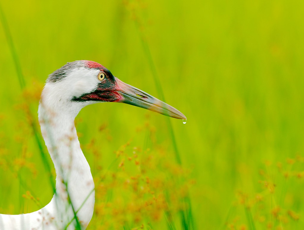 Whooping Crane (Grus americana)_41