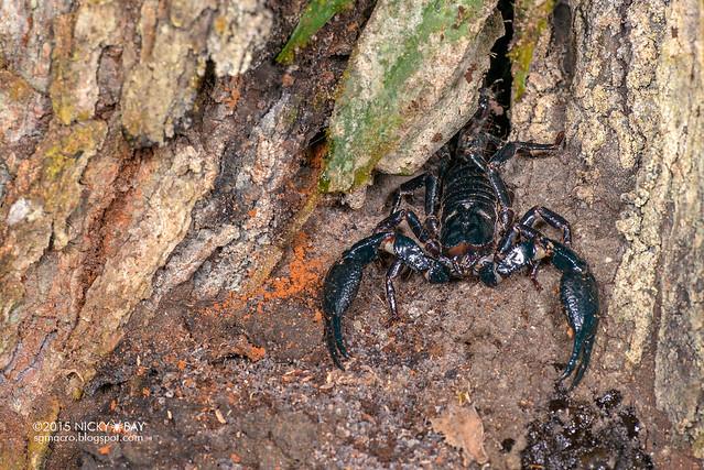 Giant black forest scorpion (Heterometrus sp.) - DSC_5264