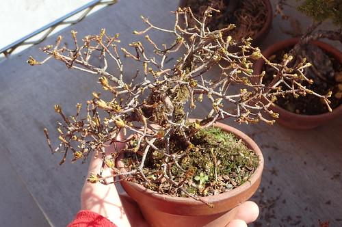 ミヤマキリシマの冬芽