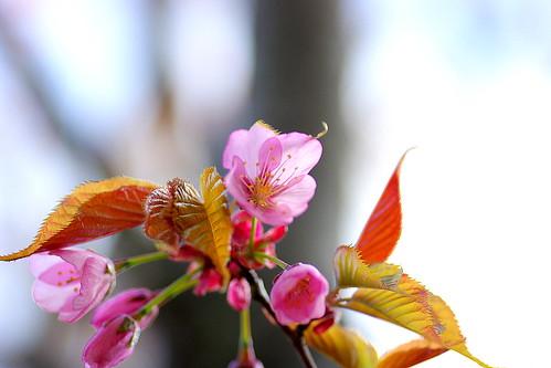 13.5.17.蝦夷山桜1