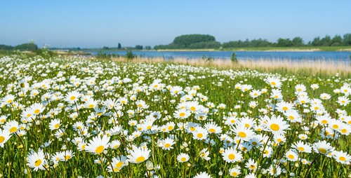 Wild flowering oxeye daisies - Wilde Margrieten by RuudMorijn