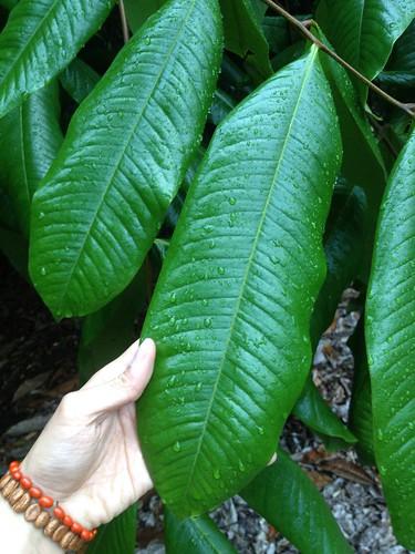 Mischocarpus grandissimus