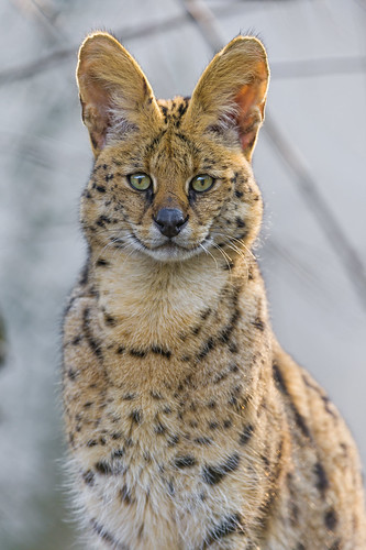 Male serval sitting and looking at me by Tambako the Jaguar