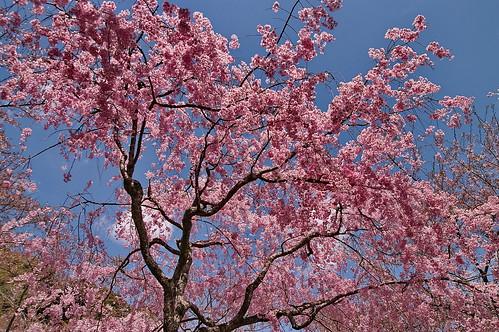 【写真】桜 : 勝持寺