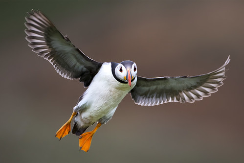 Puffin Landing on Skomer Island
