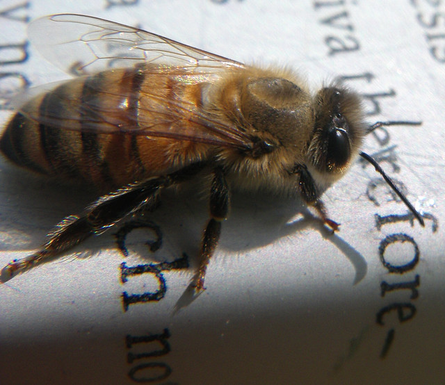 honey bee with deformed thorax