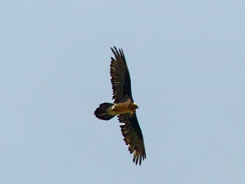 The lamagier (bearded vulture) swoops by