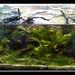 Poecilia reticulata Rio Tefe