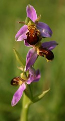 BEE ORCHID LEICESTER by davidearlgray