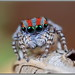 maratus volans by michael doe1