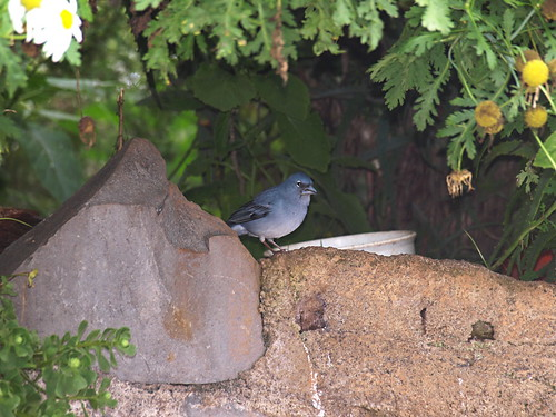Blue Chaffinch, Tenerife