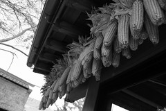 Corn dried under the eaves