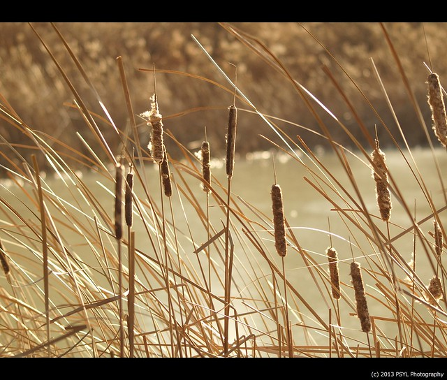 Catails (Typha sp.)