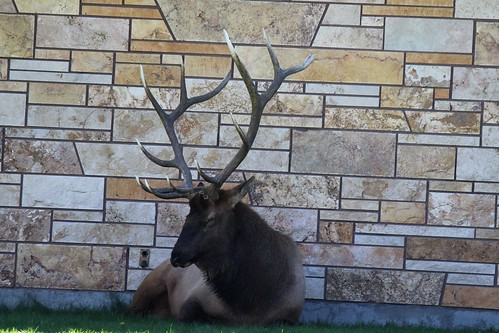 IMG_2176_Bull_Elk_at_Mammoth