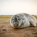 Grey Seal Pup - Wide Angle - A few weeks old