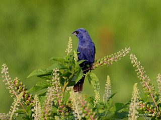 """Blue Grosbeak"" ""Passerina caerulea"""
